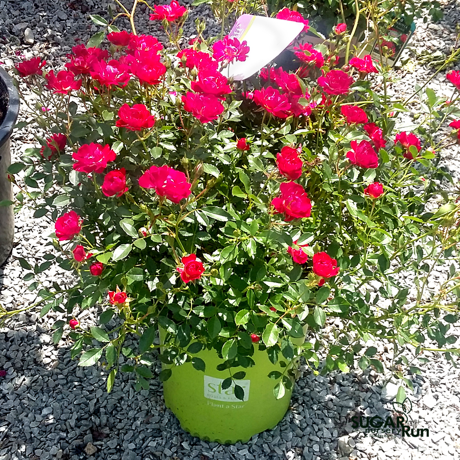 Red Drift® Groundcover Rose