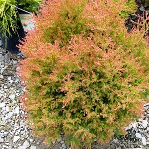 Fire Chief™ Globe Arborvitae