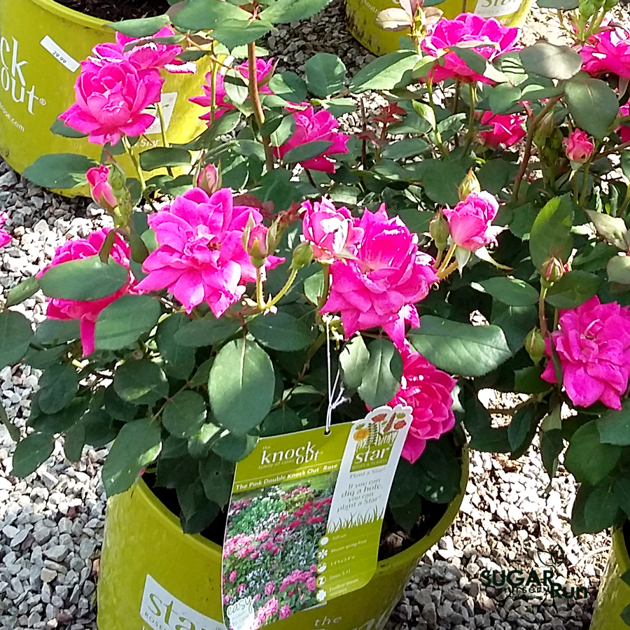 Pink Double Knockout Rose