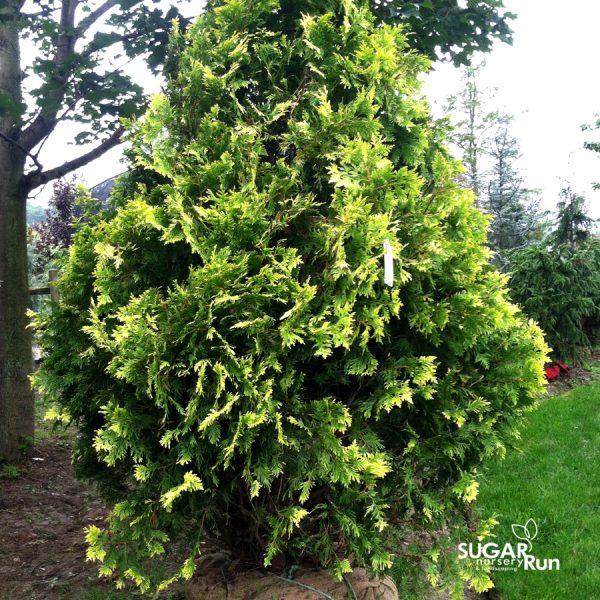 Zebrina Arborvitae