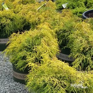 Golden Mop Threadleaf False Cypress