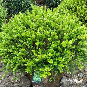 Winter Gem Boxwood