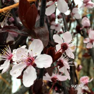 Thundercloud Purple Leaf Plum